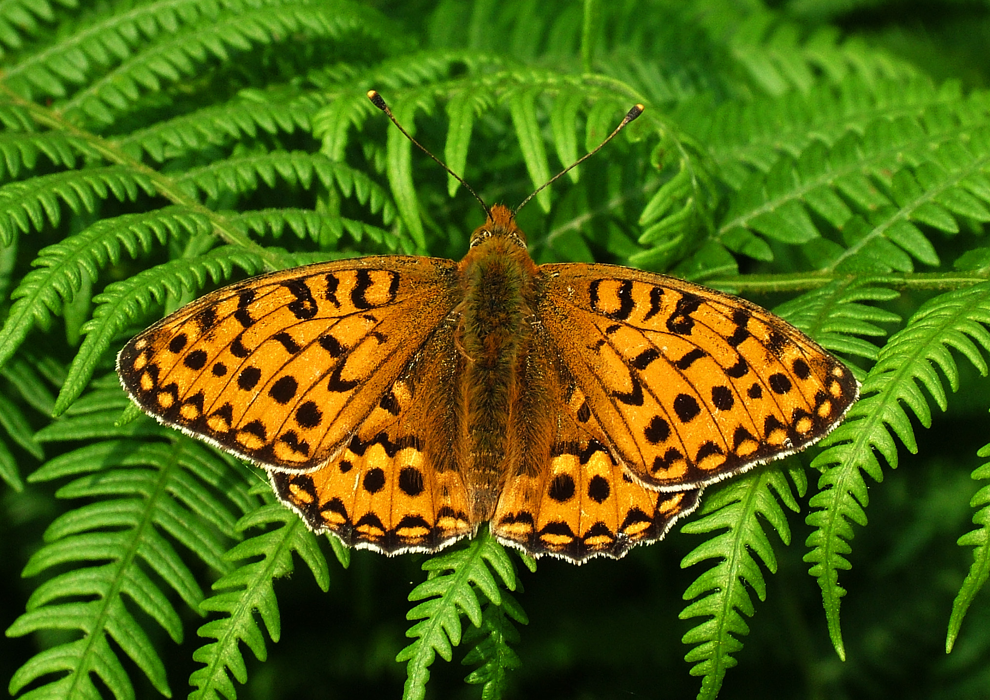 high_brown_fritillary